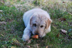 A carrot can be vegan dog food