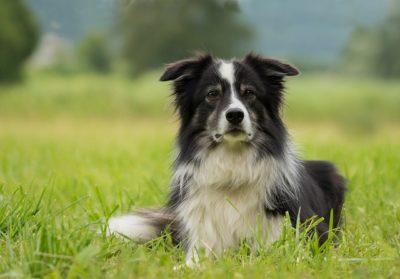 Brambles the vegan border-collie dog